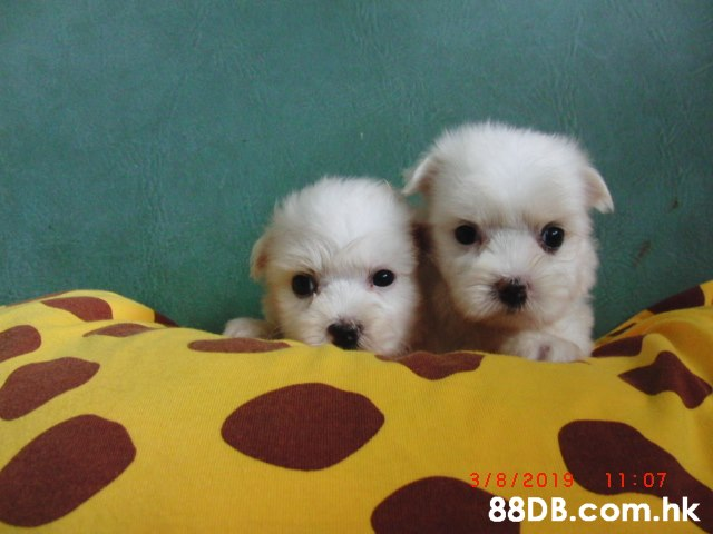 3/8/2019 11:07 .hk  Dog,Mammal,Vertebrate,Maltepoo,Dog breed