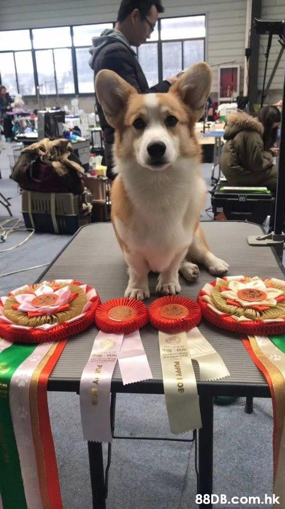 .hk PUPPY OE  Dog,Canidae,Dog breed,Companion dog,Pembroke welsh corgi
