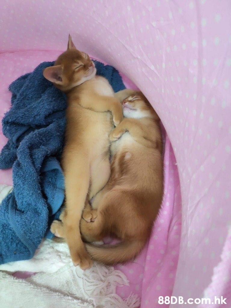 .hk  Cat,Felidae,Small to medium-sized cats,Carnivore,Fawn