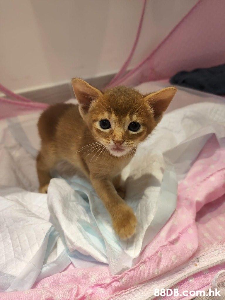 afodee .hk  Cat,Mammal,Vertebrate,Small to medium-sized cats,Felidae
