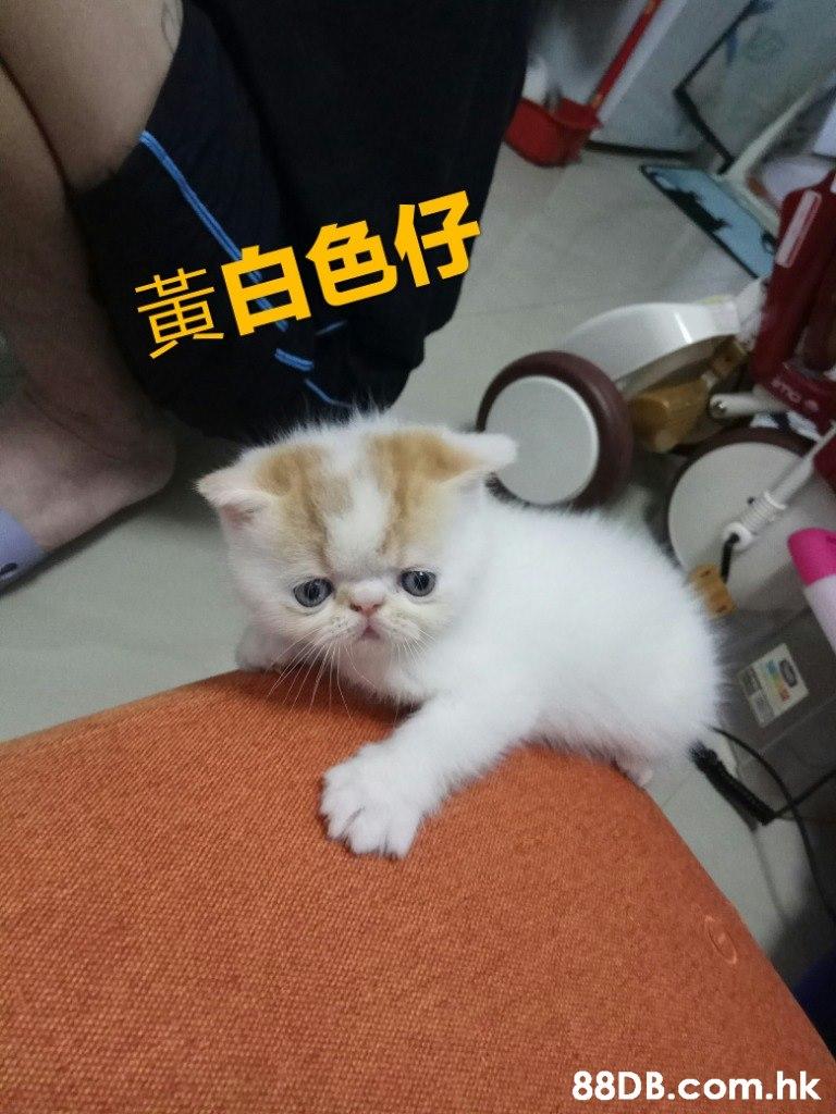 黃白色仔 mo .hk  Cat,Mammal,Small to medium-sized cats,Felidae,Whiskers