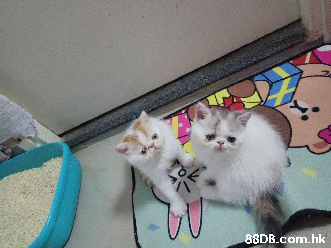 ONOME .hk  Cat,Small to medium-sized cats,Mammal,Felidae,Kitten