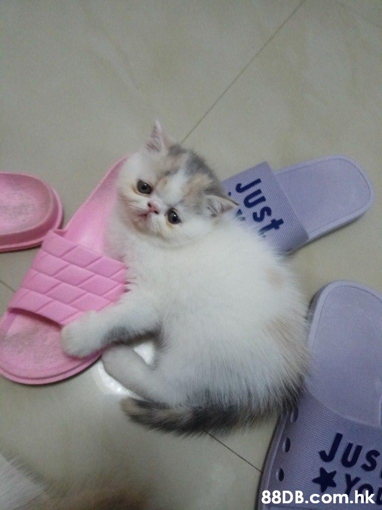Jus .hk Just  Cat,Mammal,Small to medium-sized cats,Felidae,Kitten