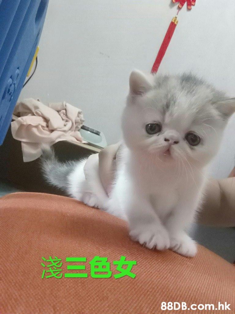 淺三色女 .hk  Cat,Mammal,Small to medium-sized cats,Felidae,Whiskers