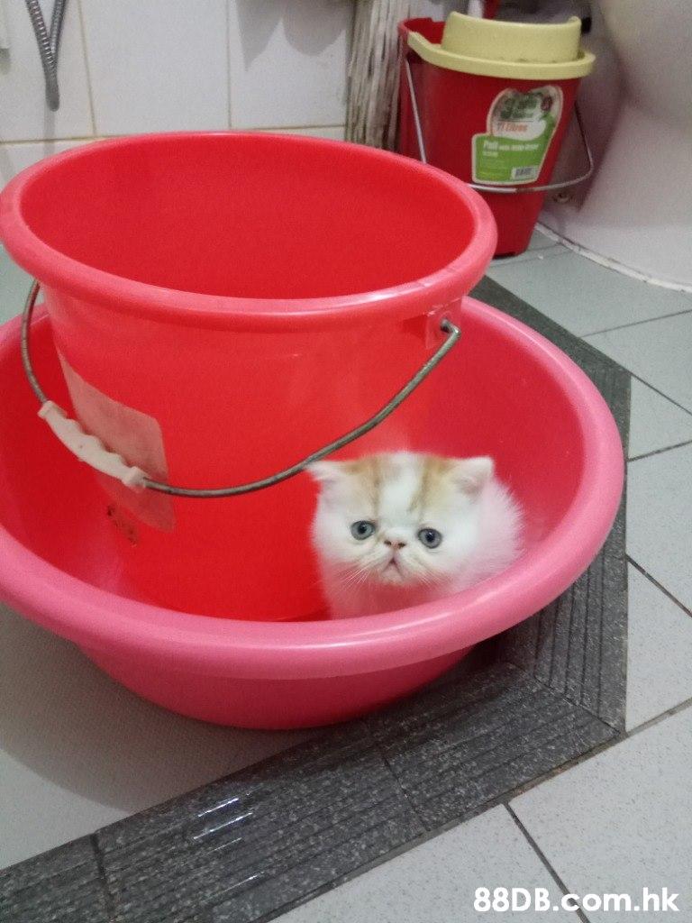 P .hk  Cat,Felidae,Small to medium-sized cats,Pink,Kitten