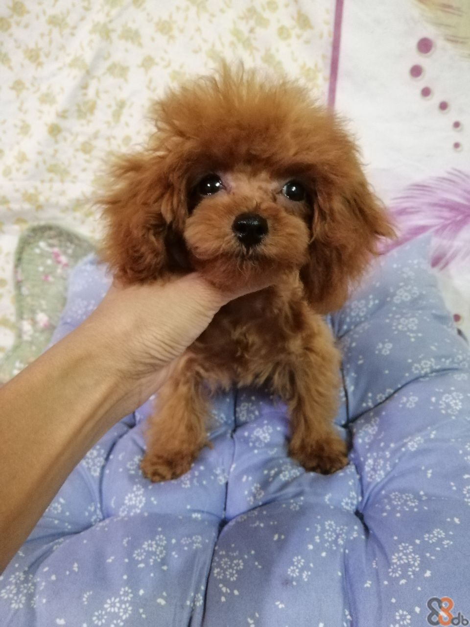 Dog,Mammal,Vertebrate,Maltepoo,Dog breed