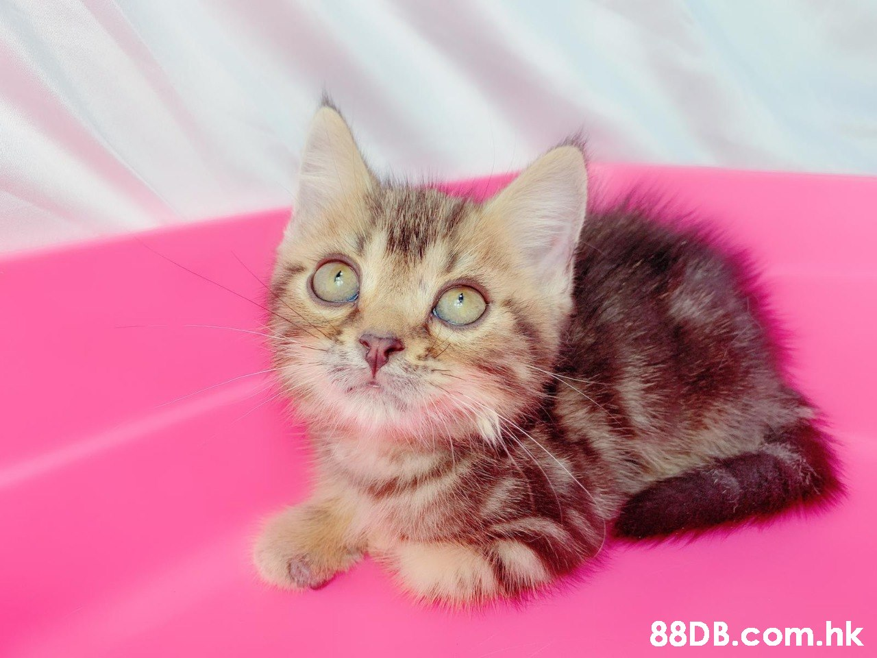 88D B.com.hk  Cat,Mammal,Vertebrate,Small to medium-sized cats,Felidae