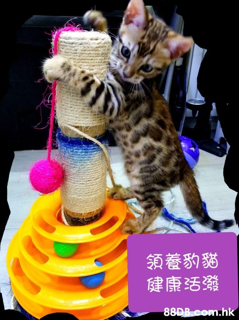 领養豹貓 健康活發 .hk  Cat,Mammal,Felidae,Small to medium-sized cats,Carnivore
