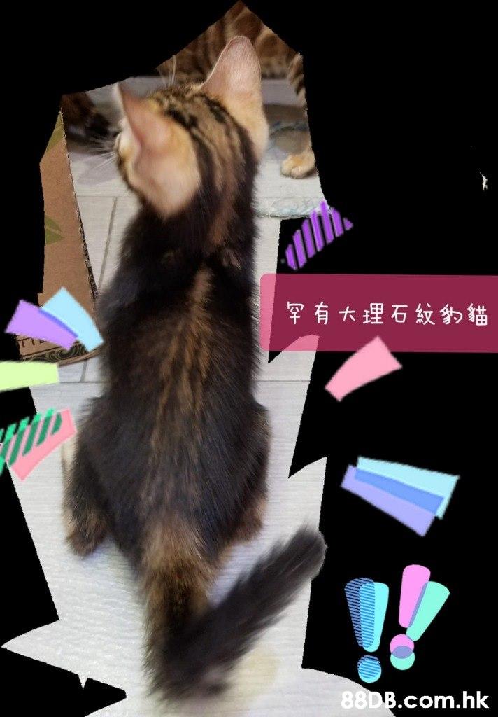罕有大理石紋的貓 .hk  Cat,Felidae,Photo caption,Small to medium-sized cats,Whiskers