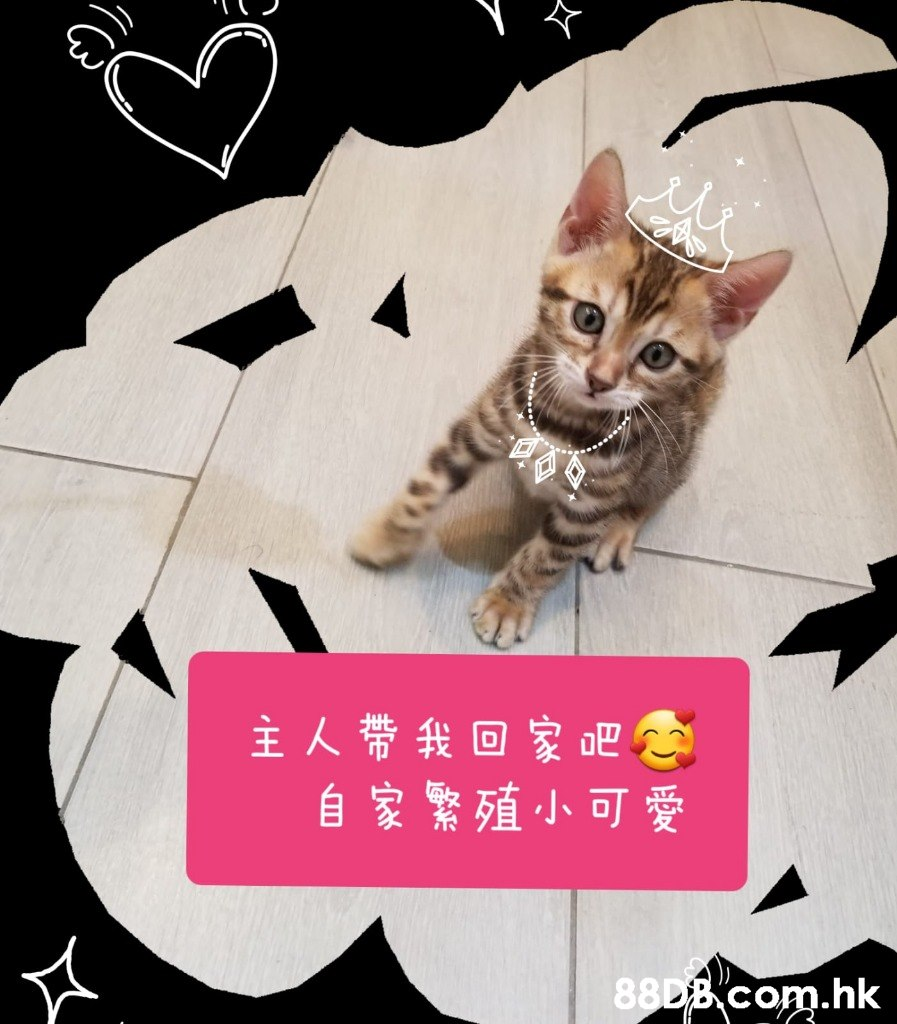 主人帶我回家吧念 自家繁殖小可愛 .hk  Cat,Felidae,Small to medium-sized cats,Whiskers,Photo caption