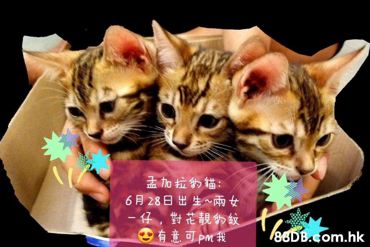 孟加拉的貓: 6月28日 出生~兩女 -仔,對花靚紋 有意可pm我 .hk  Cat,Small to medium-sized cats,Mammal,Felidae,Carnivore