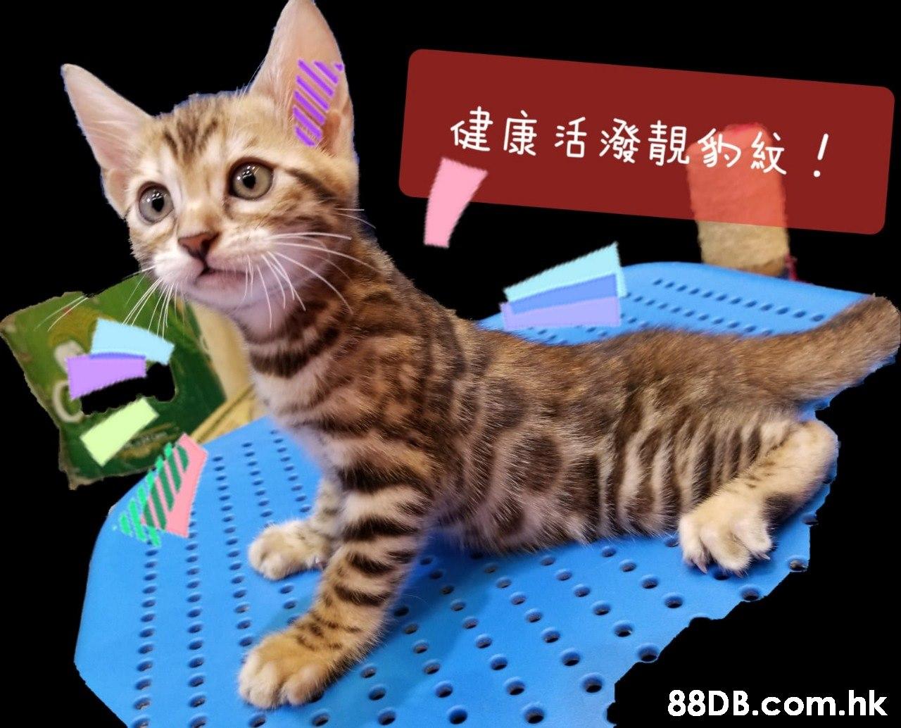 健康活潑靚的紋! .hk  Cat,Mammal,Vertebrate,Small to medium-sized cats,Felidae