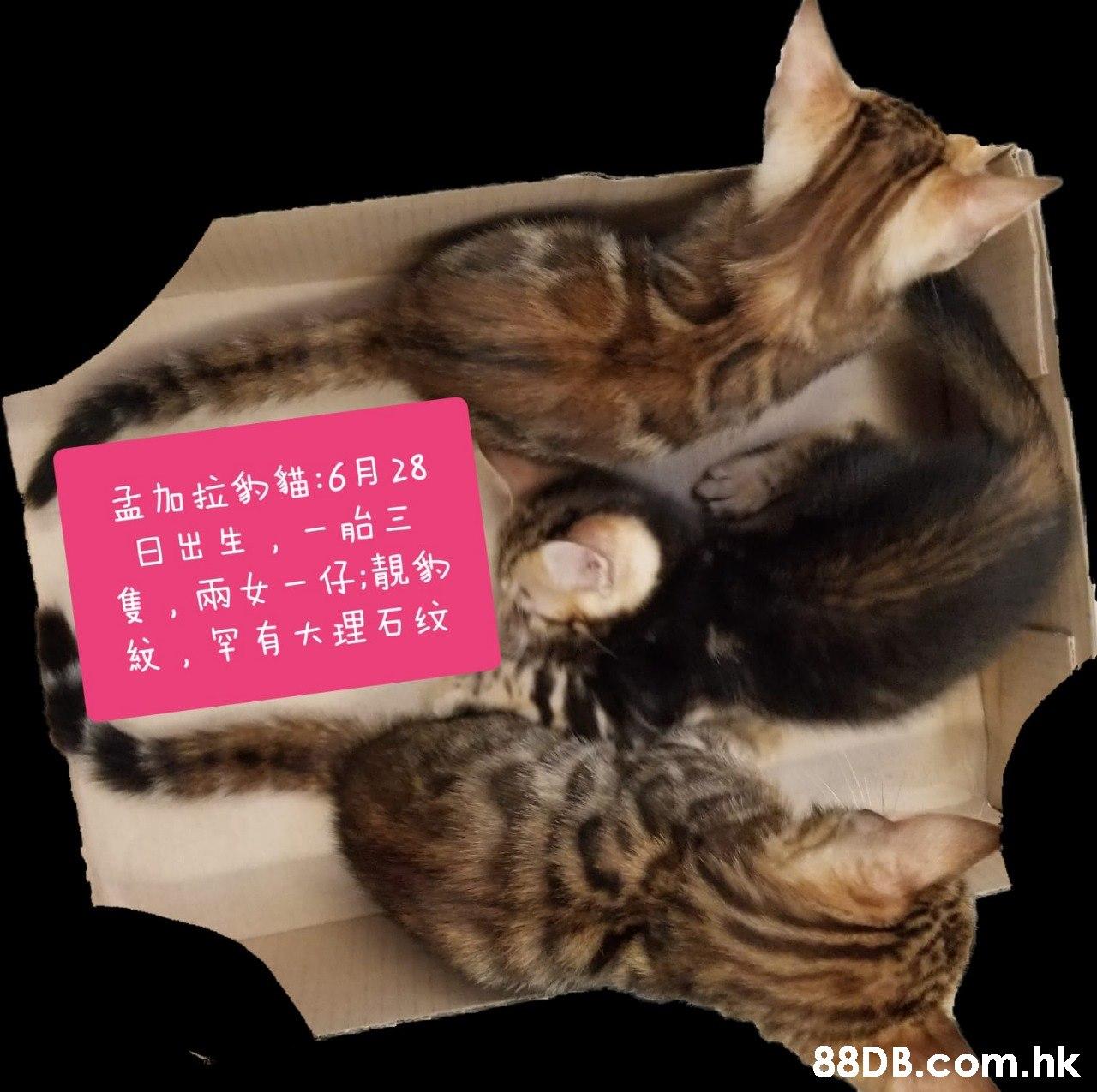 孟加拉豹貓:6月28 日出生,一胎三 隻,兩女-仔;靚動 紋,罕有大理石纹 .hk  Cat,Small to medium-sized cats,Felidae,European shorthair,Tabby cat