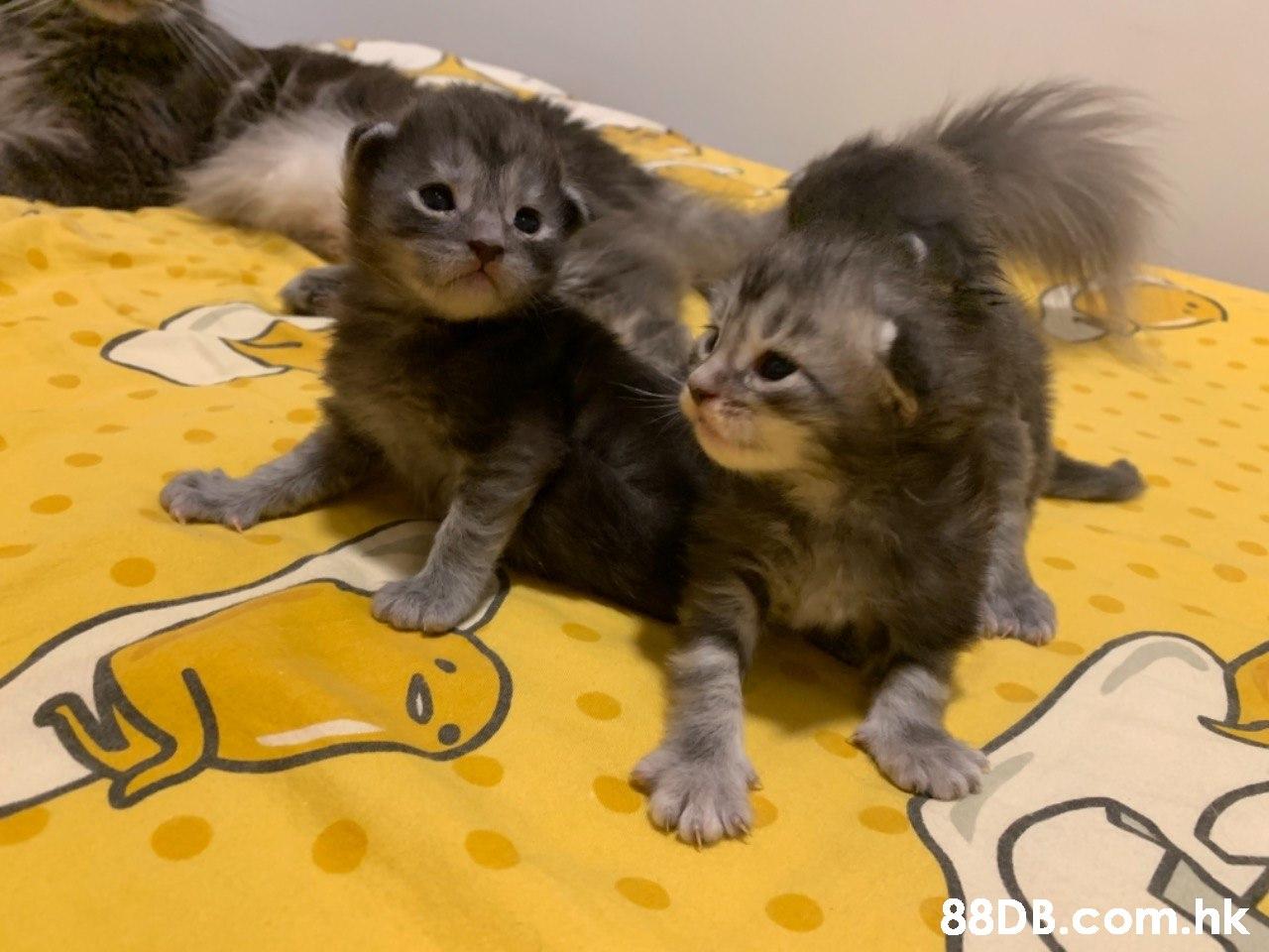 .bk  Cat,Mammal,Vertebrate,Small to medium-sized cats,Felidae