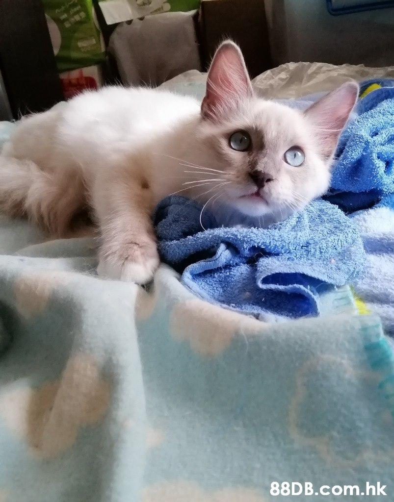 sho .hk  Cat,Mammal,Vertebrate,Small to medium-sized cats,Felidae