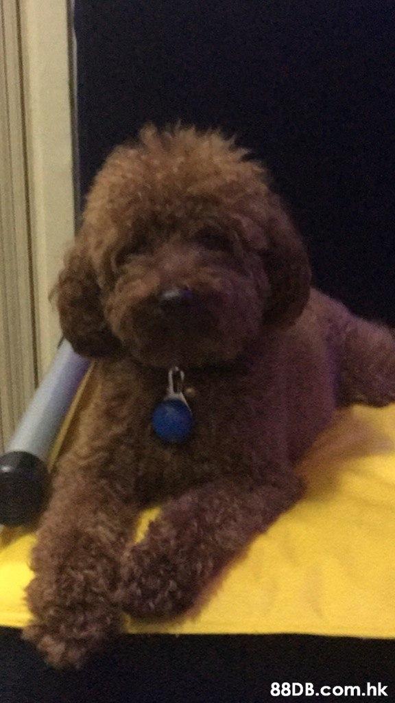 .hk  Dog,Mammal,Canidae,Dog breed,Toy Poodle