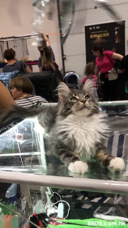 BURMALUS .hk  Cat,Small to medium-sized cats,Felidae,Domestic long-haired cat,Maine coon