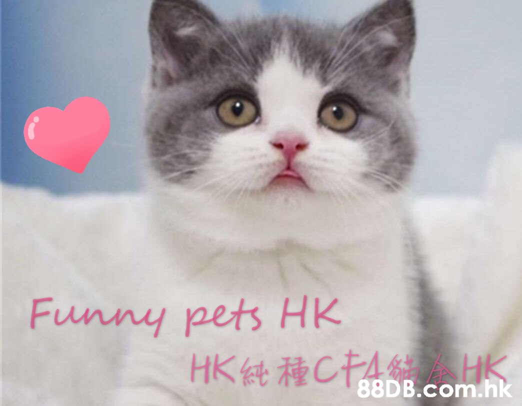 Funny pets HK HK t CA HK .hk  Cat,Small to medium-sized cats,Mammal,Felidae,Whiskers