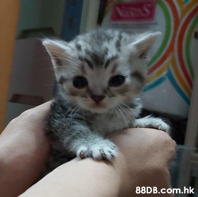 NIROS .hk  Cat,Mammal,Vertebrate,Small to medium-sized cats,Felidae