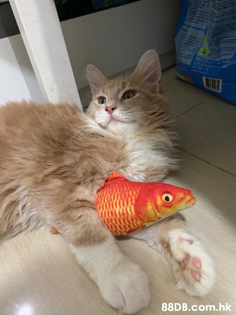.hk  Cat,Vertebrate,Small to medium-sized cats,Mammal,Felidae