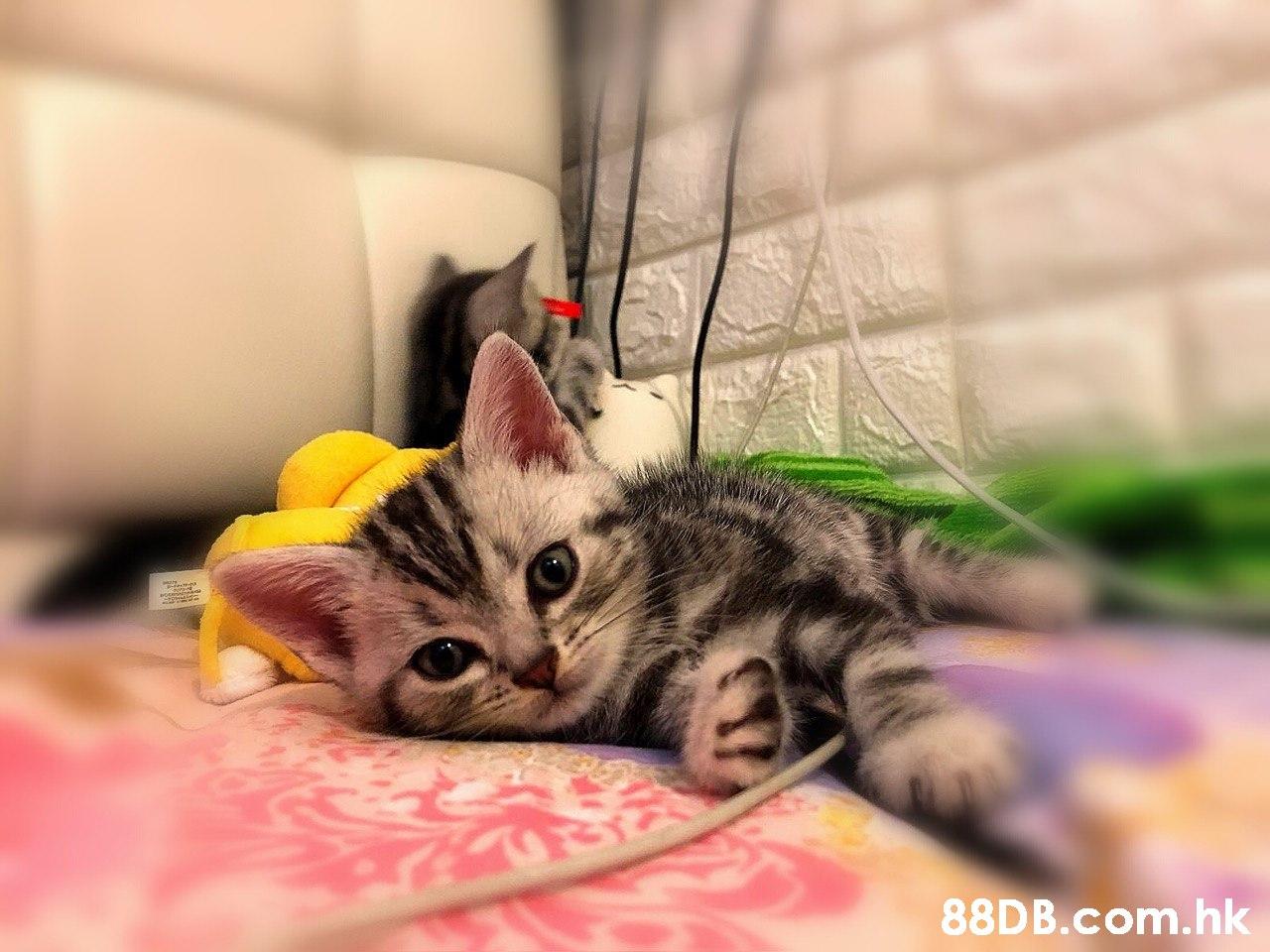 .hk  Cat,Mammal,Small to medium-sized cats,Felidae,Whiskers