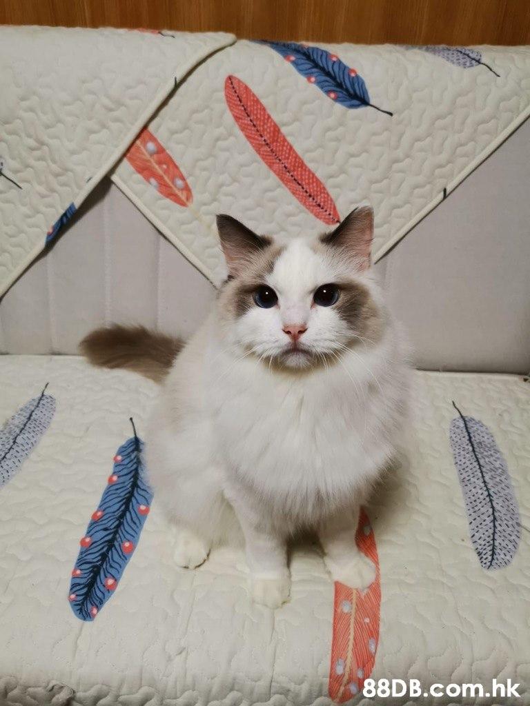 .hk  Cat,Mammal,Small to medium-sized cats,Felidae,Ragdoll