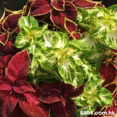 .hk  Flower,Plant,Leaf,Flowering plant,Houseplant