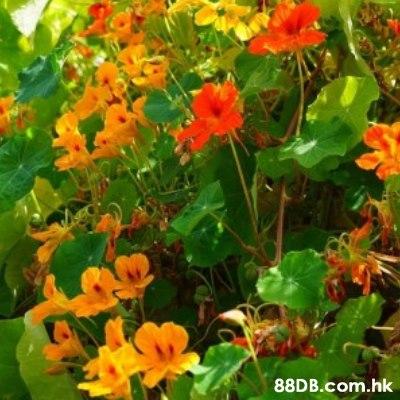 .hk  Flower,Flowering plant,Plant,Petal,Nasturtium