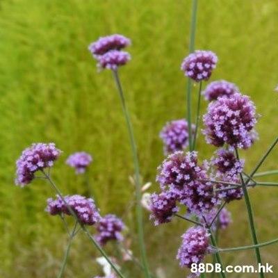 .hk  Flower,Flowering plant,Plant,Lavender,Verbena