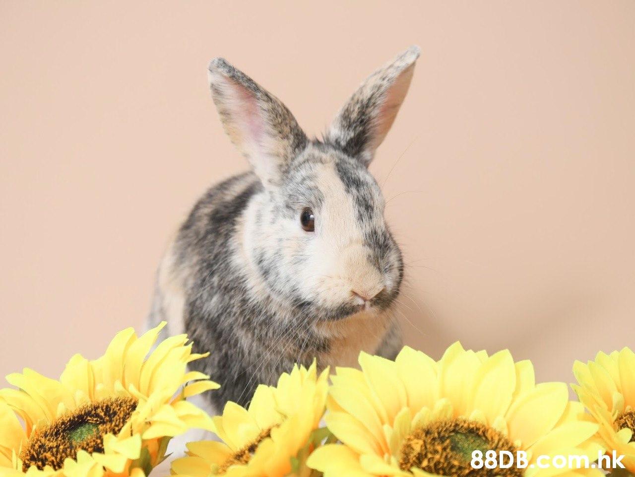 88DB com.nk  Rabbit,Domestic rabbit,Rabbits and Hares,Yellow,Wildlife