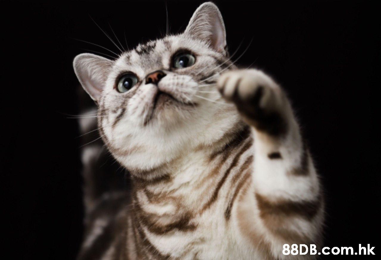 .hk  Cat,Mammal,Vertebrate,Small to medium-sized cats,Whiskers