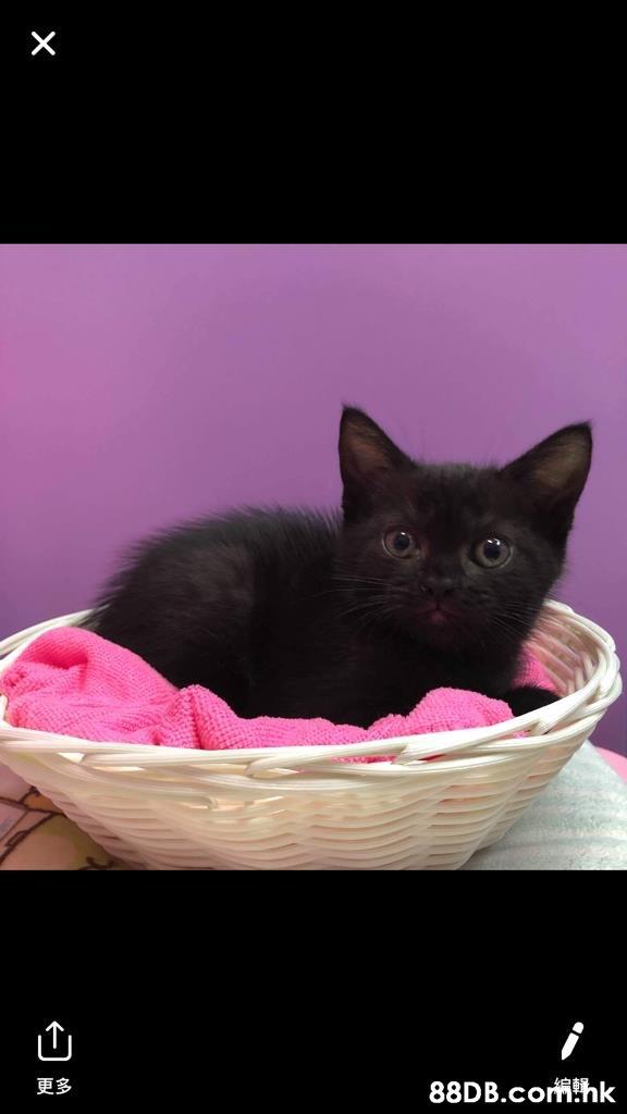 更多 !hk  Cat,Mammal,Vertebrate,Small to medium-sized cats,Black