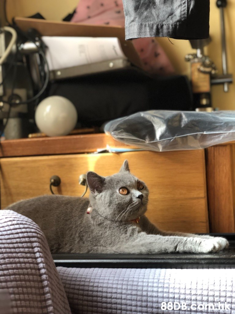 .hk  Cat,Small to medium-sized cats,Felidae,Russian blue,Chartreux