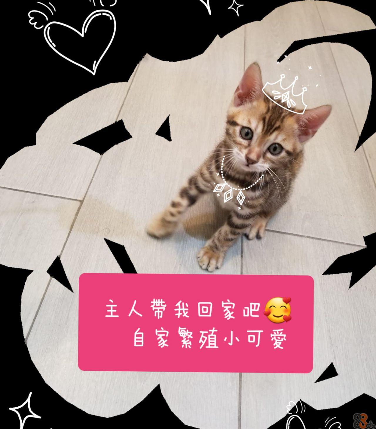 主人帶我回家吧 自家繁殖小可愛  Cat,Felidae,Small to medium-sized cats,Whiskers,Font