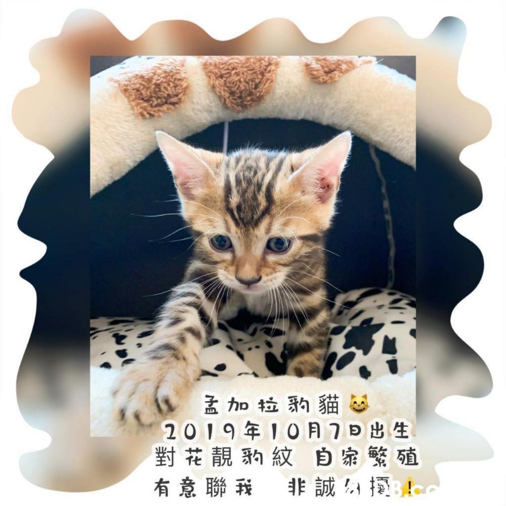 孟加拉豹貓。 2019年10月7日出生 對花靚豹紋 自家繁殖 有意聯我 非誠,撞32  Cat,Small to medium-sized cats,Felidae,Whiskers,Bengal