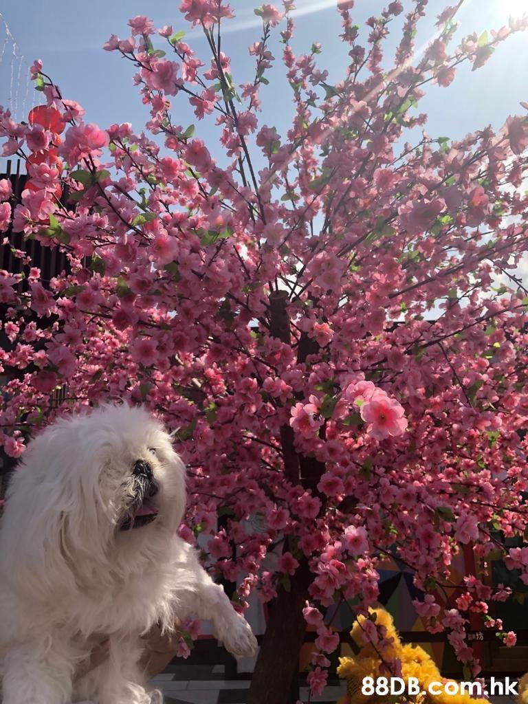 .hk  Tree,Flower,Plant,Spring,Pink