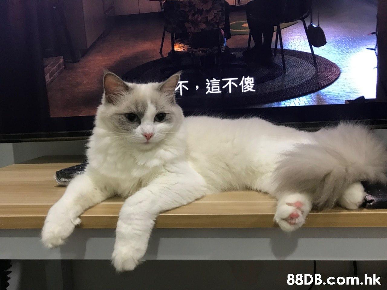 不,這不傻 .hk  Cat,Mammal,Vertebrate,Small to medium-sized cats,Felidae