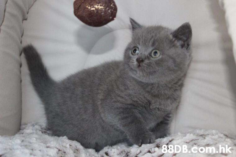 .hk  Cat,Mammal,Vertebrate,Small to medium-sized cats,British shorthair
