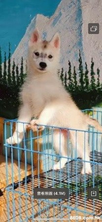 KAROY 犬舍新春優惠 - 西伯利亞雪橇犬