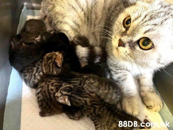 老字號CP Cat cathouse