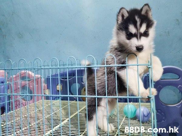 西伯利亞雪橇犬