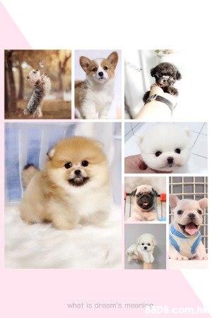 高質素茶杯級 貴婦、約瑟、松鼠、西施、摩天使、日本血統柴犬、豆柴、哥基、純種黑白史立莎、法國老虎狗、英國老虎狗、北京、八哥等等和其他多種中小型犬 。